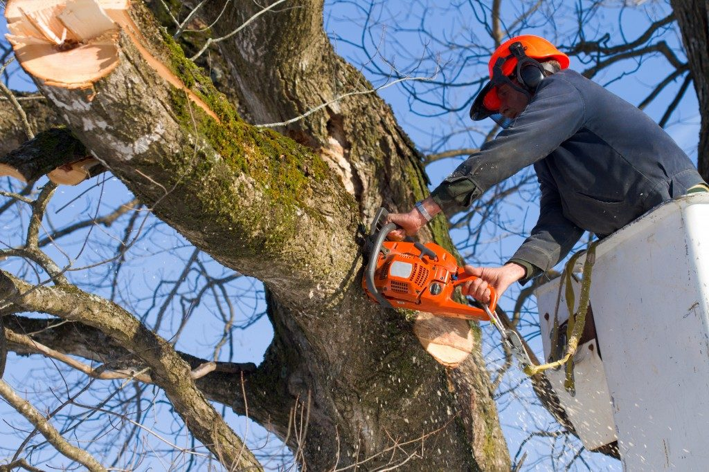 A tree surgeon cuts and trims a tree