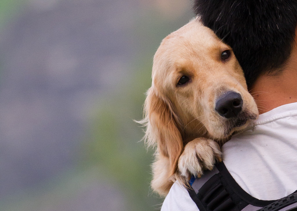 golden retriever in shoulder